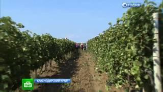 Кубанские виноделы готовят изысканные вина из гнилых ягод