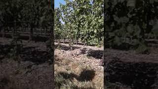 Анапа  виноградное поле