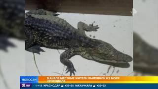 В Анапе местные жители выловили из моря крокодила