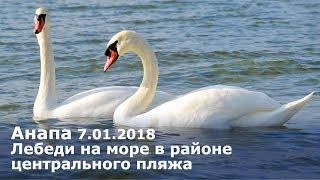 Анапа 7.01.2018 Лебеди на море в районе центрального пляжа