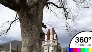 В Сочи развернулась уникальная операция по спасению двухсотлетнего дерева