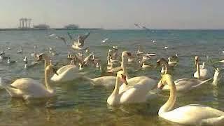 Анапа. Море. Достопримечательность Анапы- Лебеди.