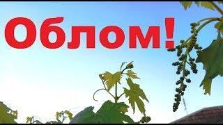 Виноград шокирует за это и страдает