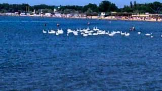 Лебеди оккупировали городской пляж Анапы