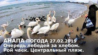 #АНАПА. Погода 27.02.2019. Очередь лебедей за хлебом. Рой чаек. Центральный пляж.