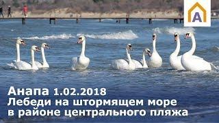 Анапа 1.02.2018 Лебеди на штормящем Чёрном море в районе центрального пляжа Анапы